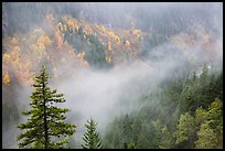Fog and autumn colors, Stevens Canyon. Mount Rainier National Park ( color)