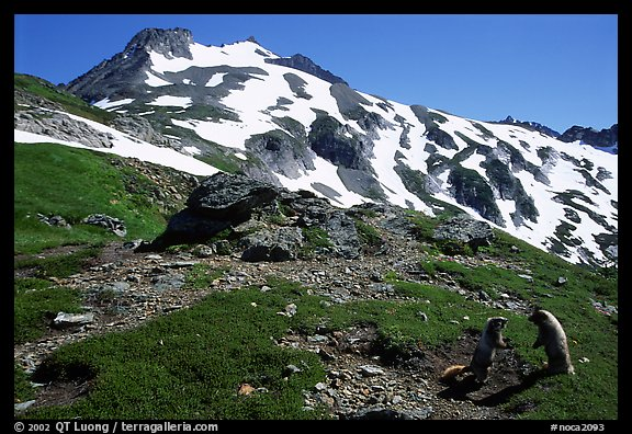 Marmots and Sahale Peak, morning, North Cascades National Park.  (color)