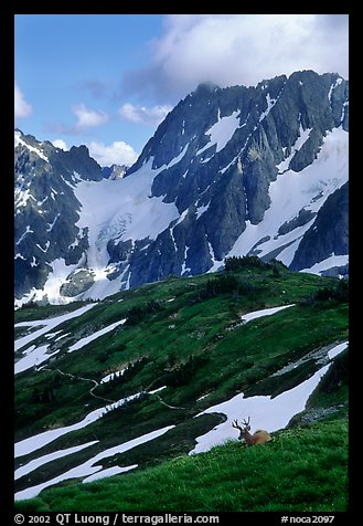 Elk and peaks, early summer, Sahale Arm, North Cascades National Park.  (color)