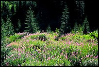 Wildflowers and spruce trees, North Cascades National Park.  ( color)