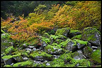 Mossy boulders and vine mapples in fall autumn color, North Cascades National Park.  ( color)