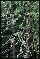 Fir and lichen, North Cascades National Park.  ( color)