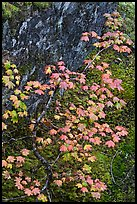 Vine maple leaves in fall color, moss and rock, North Cascades National Park. Washington, USA.