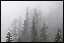 Firs in fog, North Cascades National Park.  ( color)