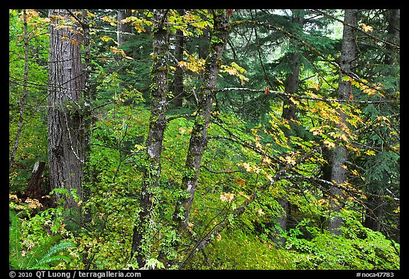 Mixed forest with autumn colors, North Cascades National Park.  (color)