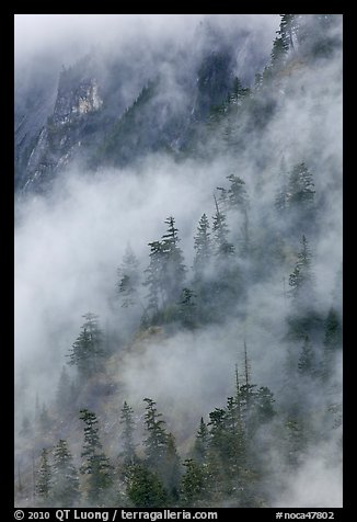 Hillside trees in fog, North Cascades National Park.  (color)