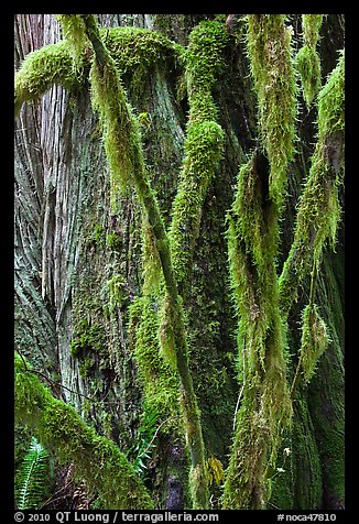 Branches covered with mosses and trunk, North Cascades National Park Service Complex.  (color)