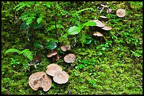 Mushrooms, North Cascades National Park Service Complex.  ( color)