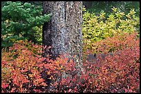 Berry plants in fall color and tree trunk, North Cascades National Park. Washington, USA. (color)