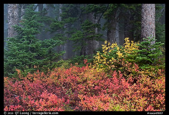 Forest in fog with floor covered by colorful berry plants, North Cascades National Park.  (color)