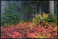 Forest in fog with floor covered by colorful berry plants, North Cascades National Park. Washington, USA. (color)