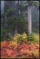 Foggy forest in autumn with bright berry colors, North Cascades National Park. Washington, USA. (color)