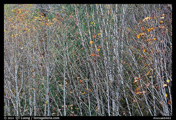 Trees in autumn with a few remaining leaves, North Cascades National Park Service Complex.  (color)