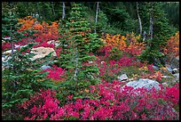 Berry plants, rocks and spruce forest in autumn, North Cascades National Park Service Complex.  ( color)