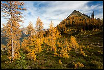Subalpine larch (Larix lyallii) in autumn foliage at Easy Pass, North Cascades National Park.  ( color)