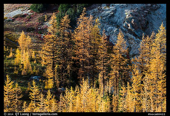 Alpine larch trees (Larix lyallii) with golden needles, Easy Pass, North Cascades National Park.  (color)