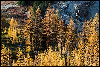 Alpine larch trees (Larix lyallii) with golden needles, Easy Pass, North Cascades National Park.  ( color)