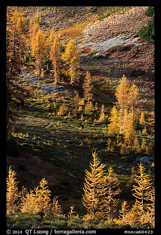 Slope with alpine larch with yellow autumn needles, Easy Pass, North Cascades National Park.  (color)