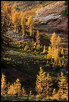 Slope with alpine larch with yellow autumn needles, Easy Pass, North Cascades National Park.  ( color)