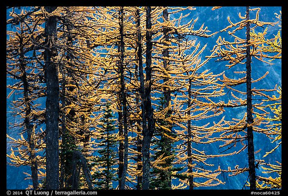 Trunks and golden needles, alpine larch in autum, North Cascades National Park.  (color)