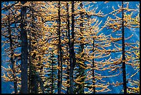 Trunks and golden needles, alpine larch in autum, North Cascades National Park.  ( color)