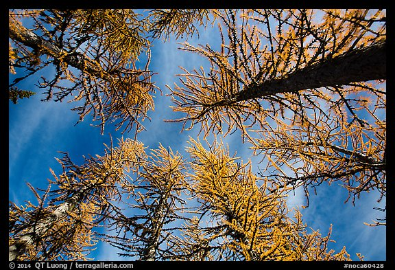 Looking up alpine larch in autumn, North Cascades National Park.  (color)