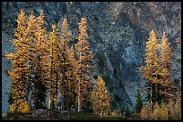 Alpine larch in autumn and rock wall, Easy Pass, North Cascades National Park.  ( color)