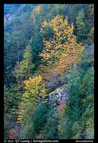 Trees in autumn foliage on steep slope, North Cascades National Park Service Complex.  (color)