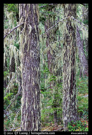 Tree trunks covered with epiphytic moss, North Cascades National Park Service Complex.  (color)