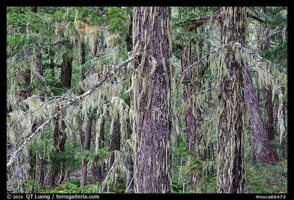 Epiphytic moss on trees, Lake Ross trail, North Cascades National Park Service Complex.  (color)