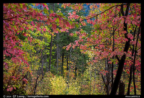 Autumn foliage along Agnes Gorge trail, North Cascades National Park.  (color)