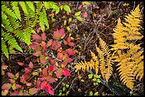 Close-up of ferns and berry plants in autumn, North Cascades National Park Service Complex. Washington, USA.