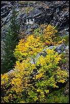 Vine maple in fall foliage against cliffs, North Cascades National Park Service Complex. Washington, USA.