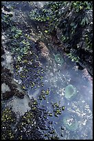 Green anemones in tidepool. Olympic National Park, Washington, USA. (color)