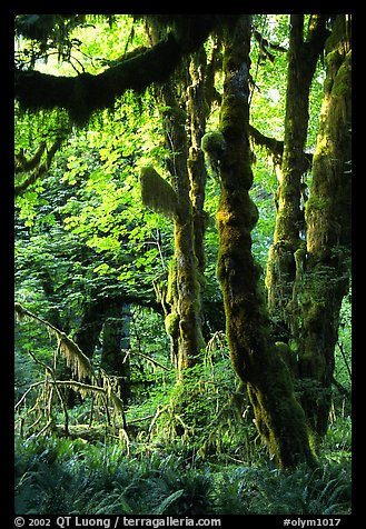 Epiphytic spikemoss on maple trees, Hoh rain forest. Olympic National Park (color)