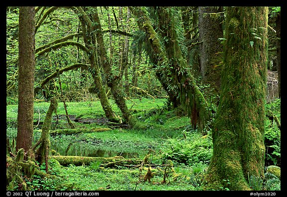 Mosses, trees, and pond, Quinault rain forest. Olympic National Park (color)