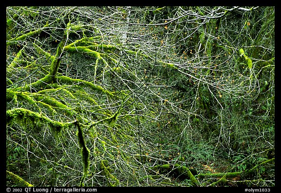 Branches and moss in spring. Olympic National Park (color)