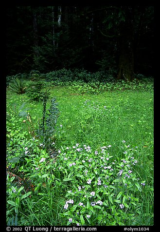 Spring growth in meadow. Olympic National Park, Washington, USA.
