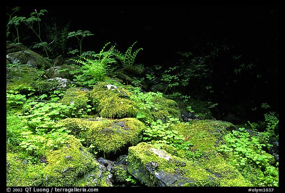 Mosses and boulders along Quinault river. Olympic National Park (color)