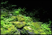 Mosses and boulders along Quinault river. Olympic National Park, Washington, USA.