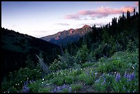 Wildflowers at sunset, Hurricane ridge. Olympic National Park, Washington, USA. (color)