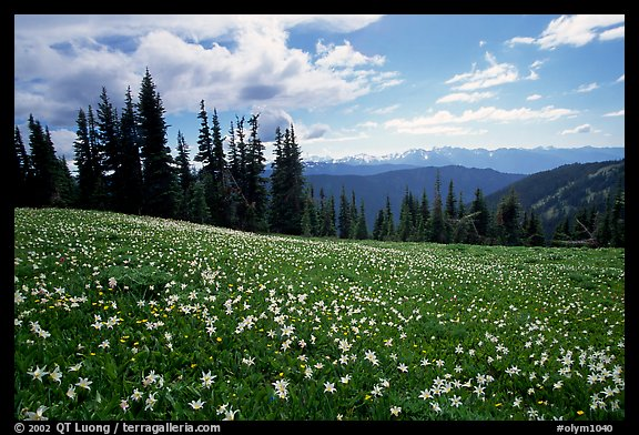 Avalanche lillies, Hurricane ridge. Olympic National Park (color)