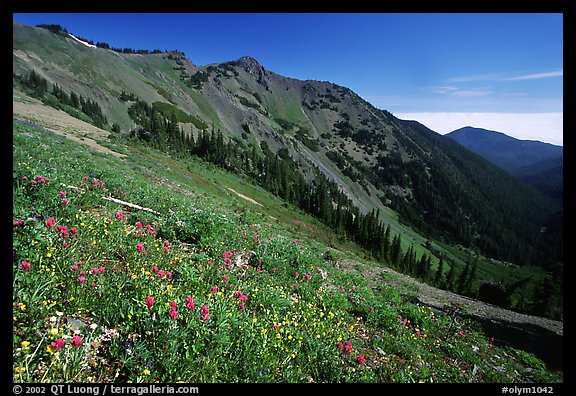 Wildflowers on hill, Hurricane ridge. Olympic National Park (color)