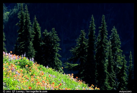 Wildflowers and pine trees, Hurricane ridge. Olympic National Park, Washington, USA.