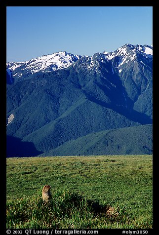 Marmot near Hurricane hill with Olympus Range behind. Olympic National Park (color)
