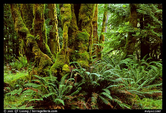 Ferns and moss-covered trunks near Crescent Lake. Olympic National Park (color)