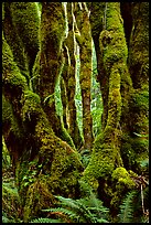 Moss-covered trunks near Crescent Lake. Olympic National Park, Washington, USA. (color)