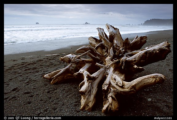 Large roots of driftwood tree, Rialto Beach. Olympic National Park (color)