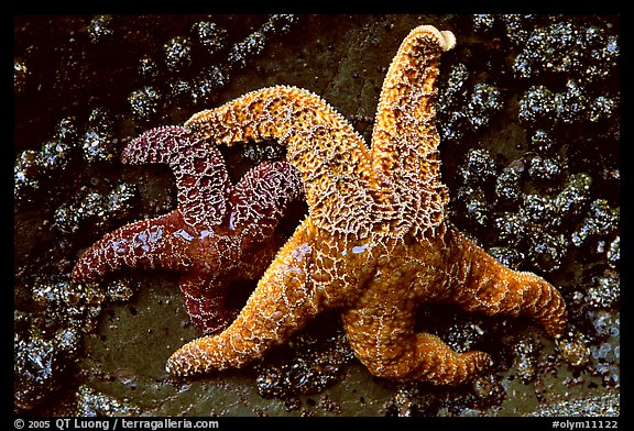 Orange and red sea stars. Olympic National Park (color)