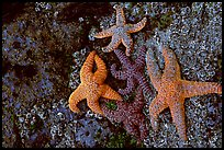 Seastars on rocks at low tide. Olympic National Park, Washington, USA. (color)